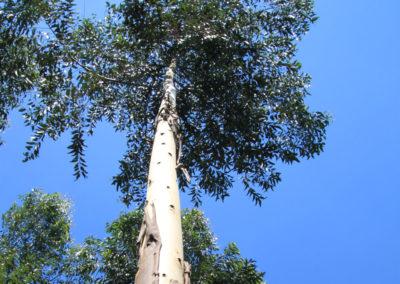 eukalyptus_nachhaltieg_geldanlage