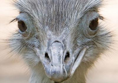 paraguay_tierwelt_emu