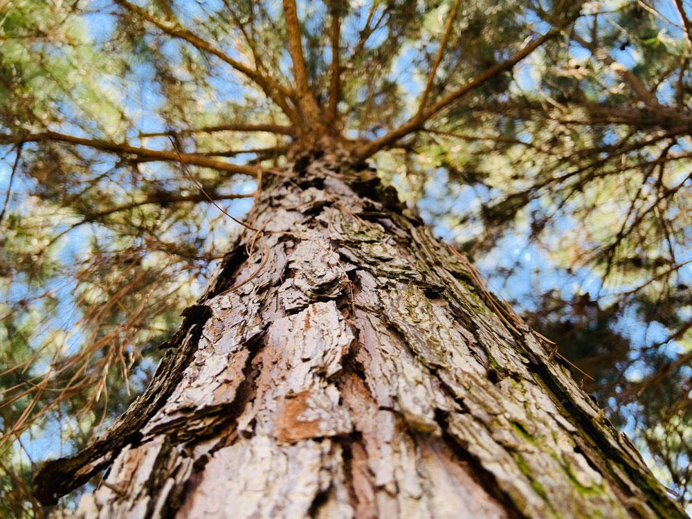 In unserer Aufforstung wachsen Kiefern, Eukalyptusbäume und einheimische Baumarten